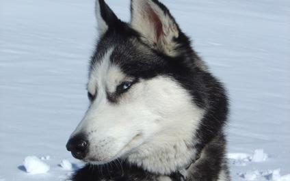 CHIENS DE TRAÎNEAU EN SUISSE chiens424x265_1