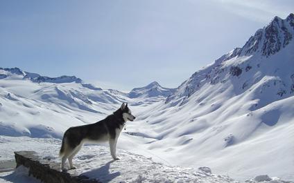 CHIENS DE TRAÎNEAU EN SUISSE chiens424x265_3